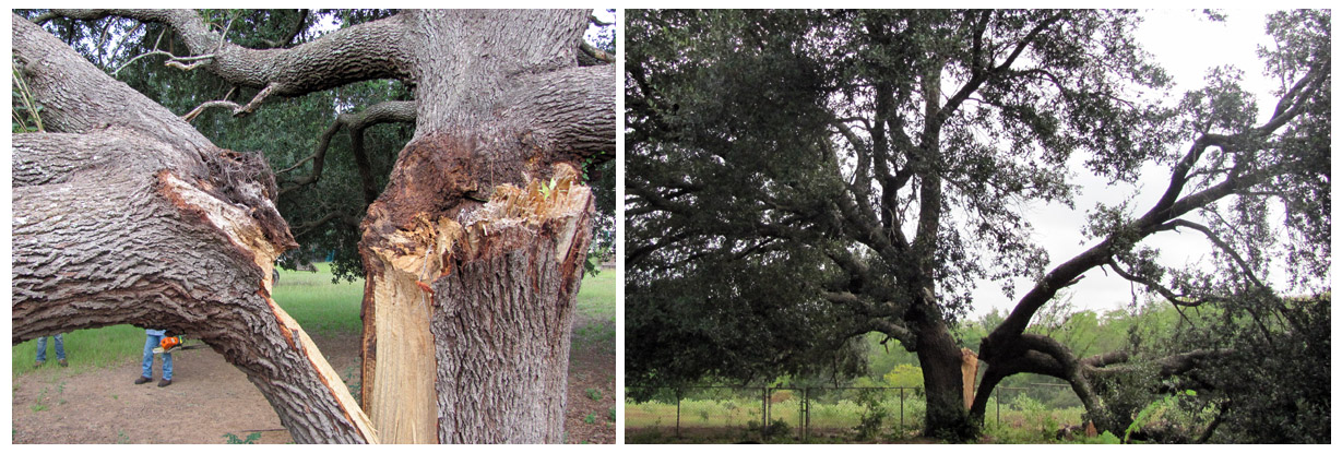 Arboreal Specialists Inc. 903-279-9934  The Tree Experts of East Texas